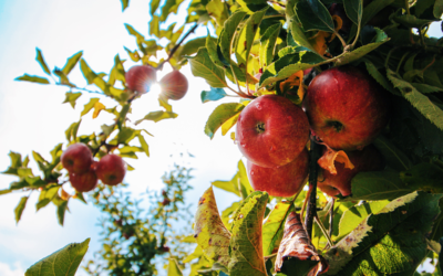 Äpfel senken Cholesterinwert